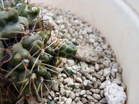 20130519_cactus_03