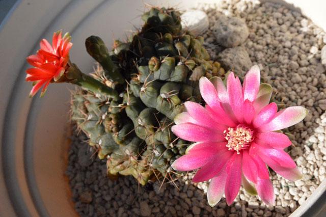 20150802_cactus_04