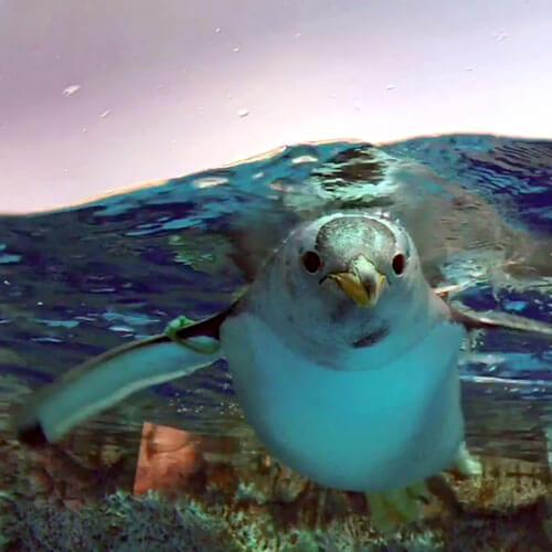 横浜・八景島シーパラダイスのジェンツーペンギン
