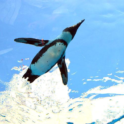 「天空のペンギン」で泳ぐペンギン
